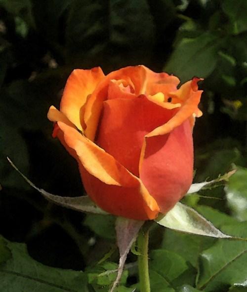 Rosa 'Remember Me.'